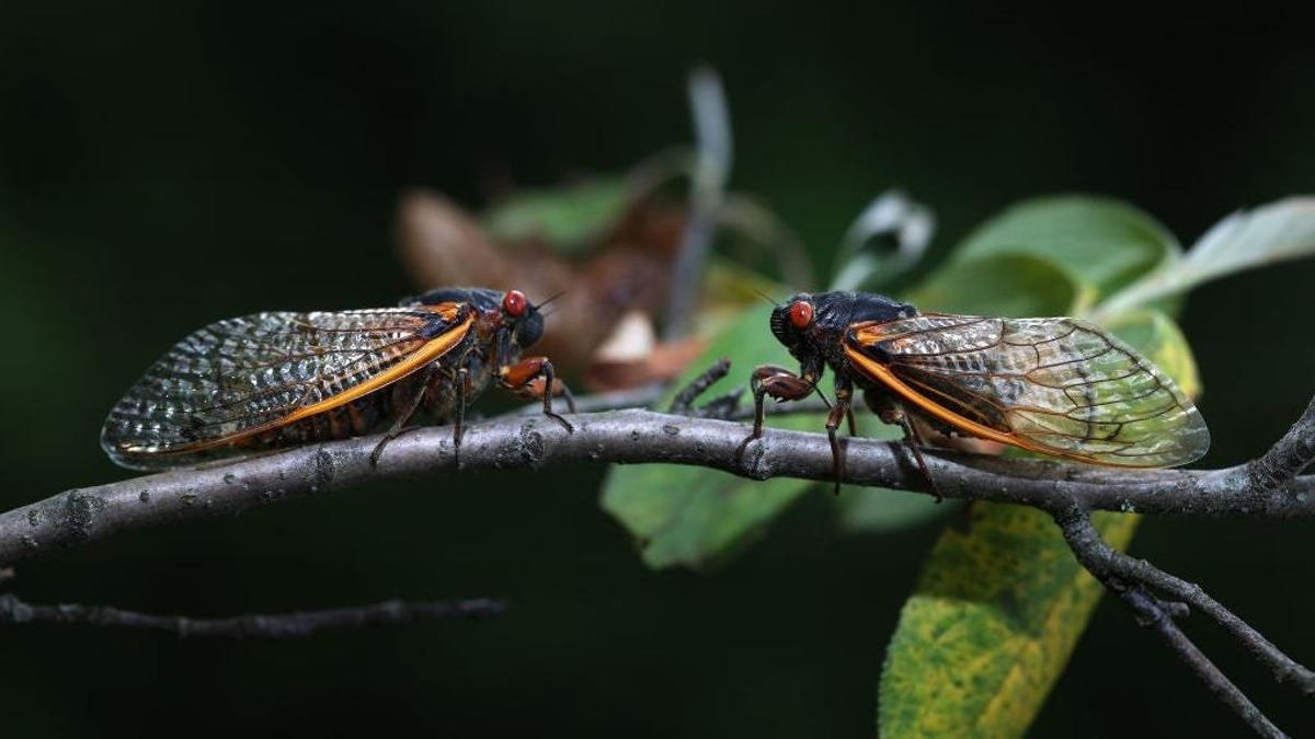 Do not call 911 to report the cicada's screaming sex parties