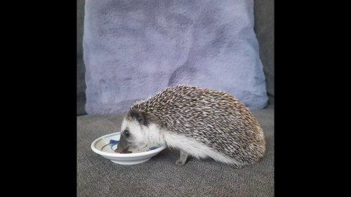Pygmy Hedgehog Eats Favorite Snack