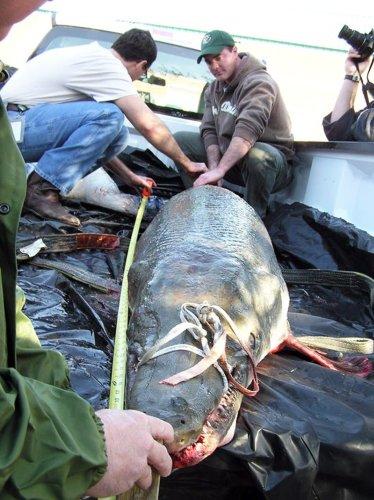 Massive world record Alligator Gar found in Mississippi