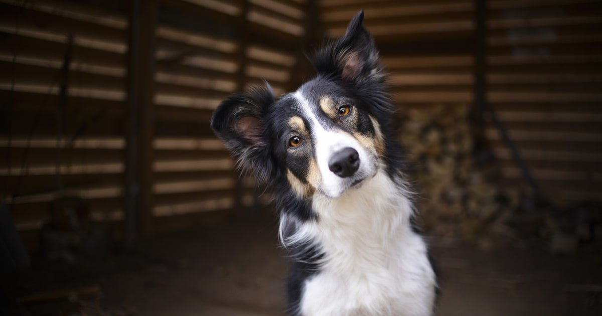How smart is your dog? An experiment puts one breed to the test