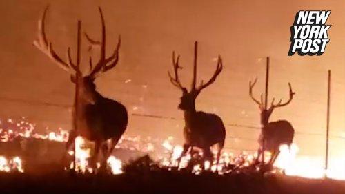 Fires in Montana trap elk behind fence in terrifying blaze