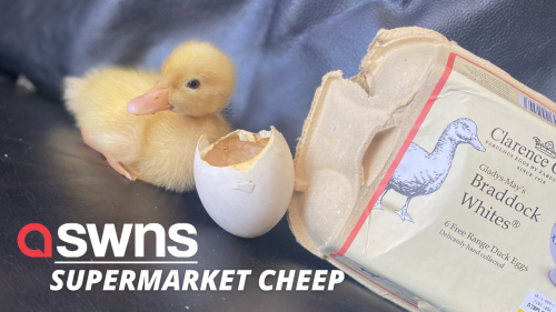 Woman who hatched a duckling from an egg she bought in a supermarket now keeps it as a pet (RAW)