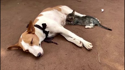 A cat feeds from a lactacting dog in Nigeria