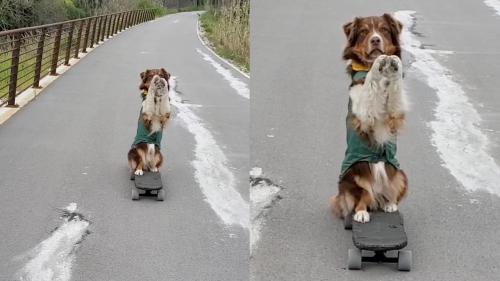 'Courageous Dog Rides a Skateboard on 2 Paws'