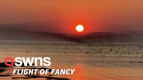 Stunning video shows a flocking of knot birds flying together in front a setting sun