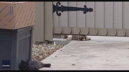 Cat Expertly Trolls Dog in Ohio Neighborhood