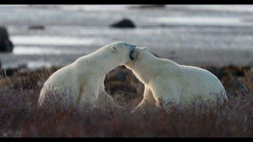 Polar Bears Spar in the Wild