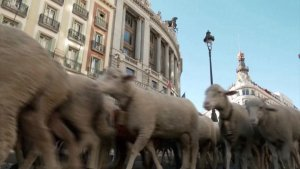 These Sheep Are Walking in the Streets of Madrid and Are Headed South for the Winter