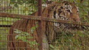Rescued Abused Tiger From Ukraine Finally Finds New Home