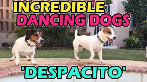 'SUPER TALENTED Jack Russell Terriers dancing to 'DESPACITO''