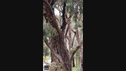 Inquisitive Koala Climbs Down Tree to Say Hello to New Friend