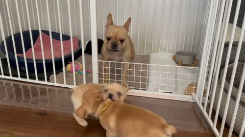 Playful Frenchie Mama Bonds with her Puppies