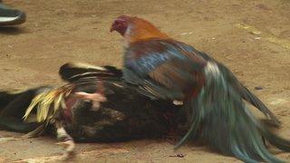 Al Jazeera gains rare access to Mexico cockfighting event