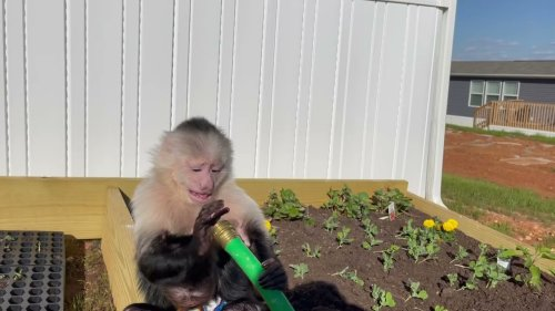 Monkey With Garden Skills Observes Water Pipe