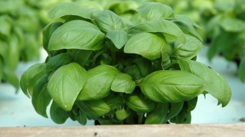 Grow Fresh Herbs At Home Today