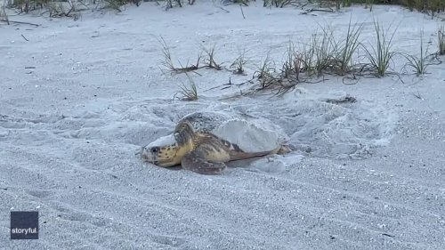 Sea Turtle Nests on Florida Beach Before Returning to Ocean