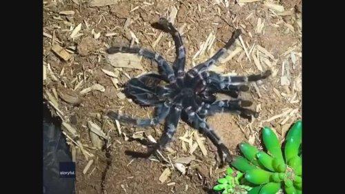Pet Tarantula Sheds Exoskeleton in Awesome Timelapse