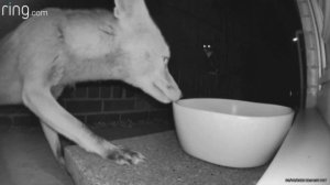 Crazed Kitten Goes Berserk on Much Larger Fox Trying To Get Food!