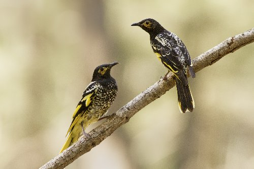 As endangered birds lose their songs, they can't find mates