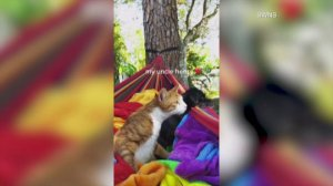 Watch This Cute Cat Swinging Away in a Hammock!