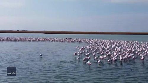 Flamingos Form Crescent Shape in Kazakhstan Lake