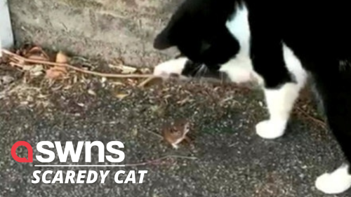 Watch this super sassy mouse squaring up to a cat - Tom and Jerry style (RAW)