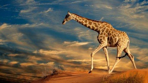 Faszination Giraffe