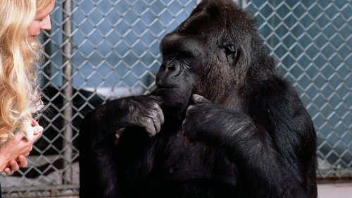 The Gorilla That Knew 150 Sign Language Terms