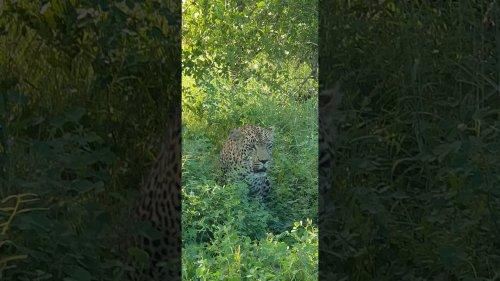 Curious Leopard Stares Into Camera