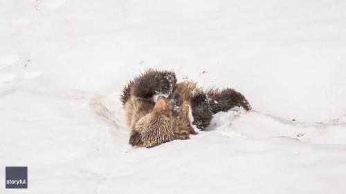Playful Bear Cub Rolls in Alberta Snow