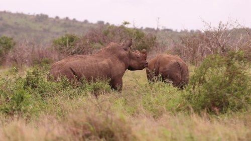 Rare footage of endangered rhinos mating