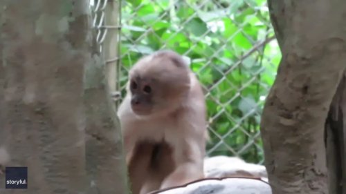 Clever Capuchin Monkey Tries to Break Open Fruit With Huge Rock at South American Sanctuary