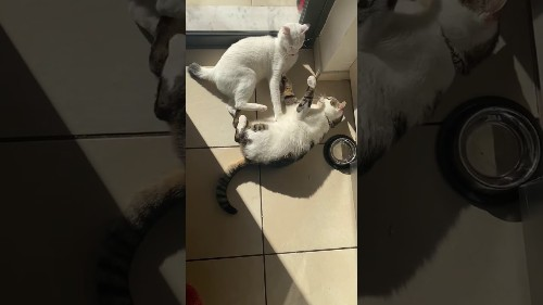 Adorable Kittens Play fight