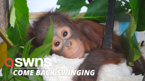 Endangered orangutan nursed back to health being rescued from a chicken coop as a baby