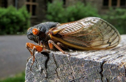 Brood X Cicadas Are Invading, But Some Foodies Are Feasting