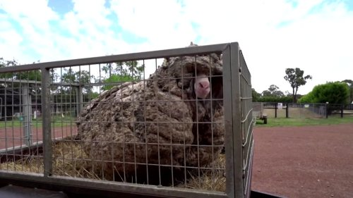Wild sheep freed from his own wool