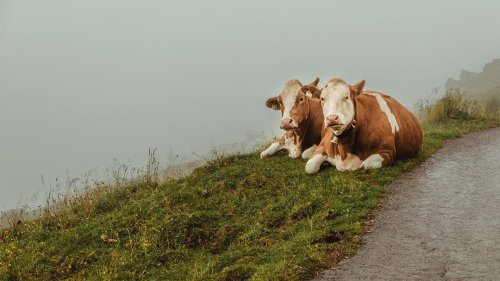 Cows Have Best Friends and Become Sad When They're Separated