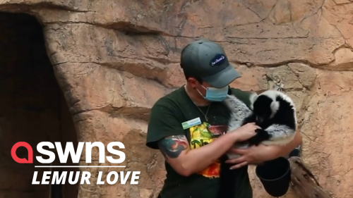 Adorable video shows lemurs launching themselves onto their keepers arms in US