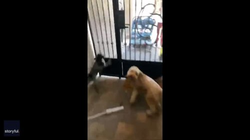 Excited Dogs Can't Wait to Walk With Young Neighbors in Las Vegas