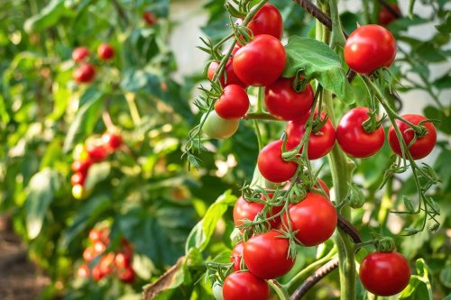 Tomatoes have a kind of nervous system that warns about attacks