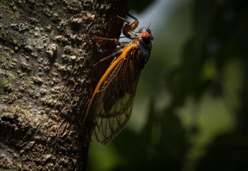It's cicada season in Illinois