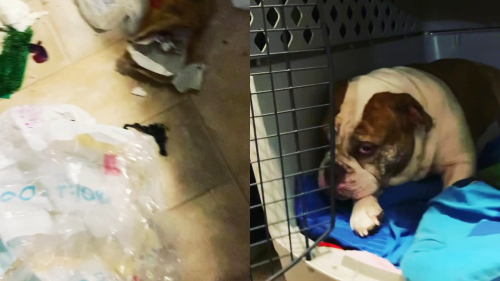 'Guilty bulldog tries to avoid eye contact with owner after thrashing the house in her absence '