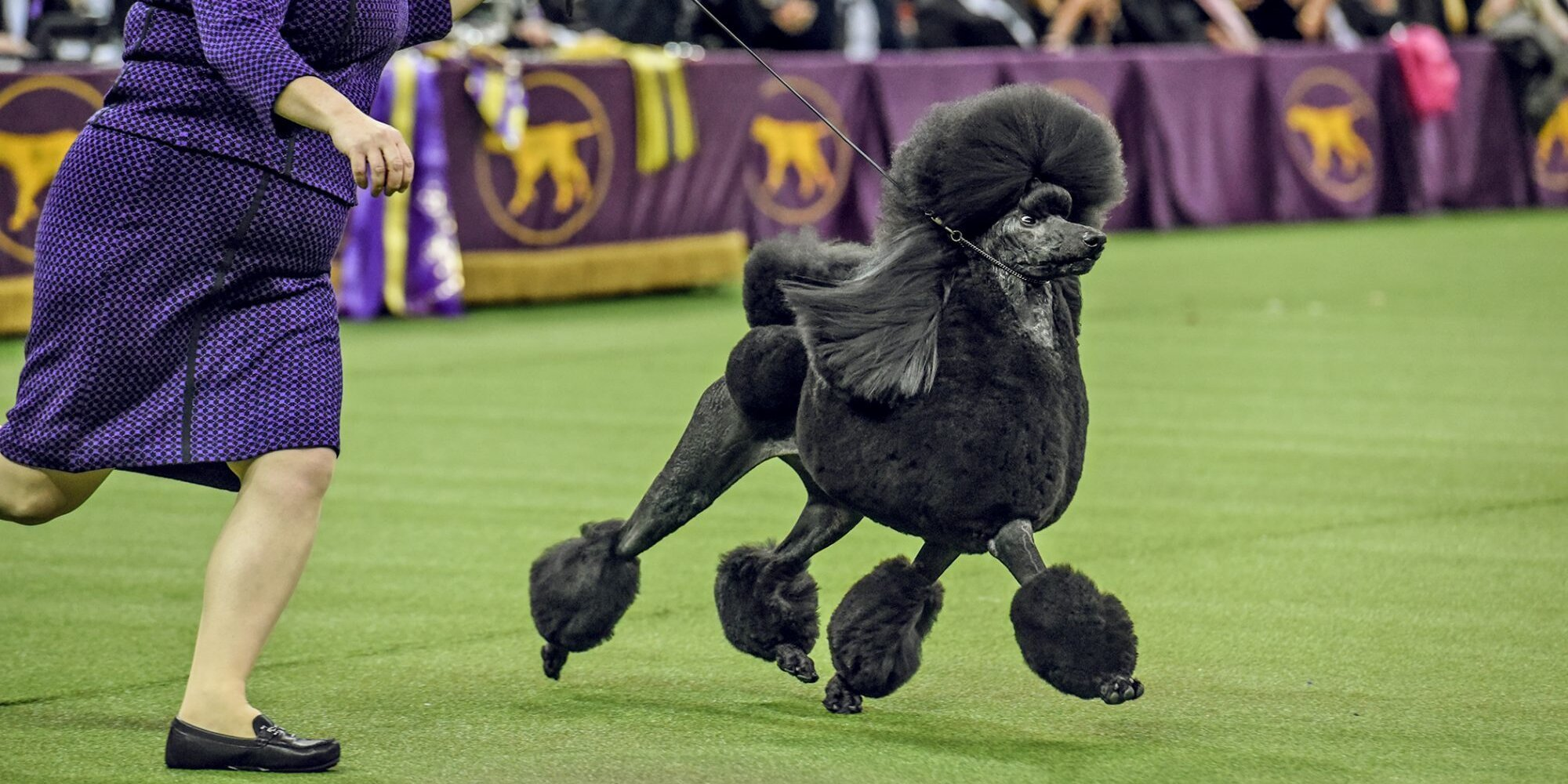 These 8 Popular Dog Breeds Have Never Won at Westminster