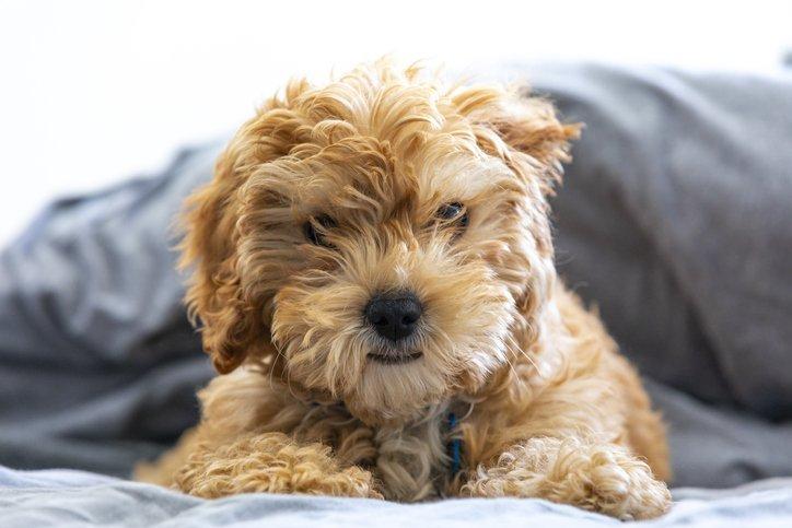 You'll Love These Teddy Bear Dog Breeds