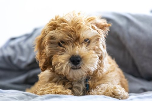 You'll Love These Teddy Bear Dog Breeds