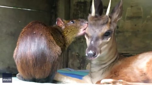 Deer and Agouti Become Unlikely BFFs at South American Sanctuary