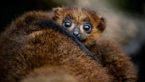 Cuteness Alert! Rare Red-Bellied Lemur Baby Emerges From Mom's Fur