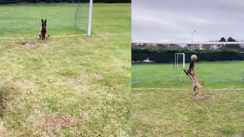 'This Belgian Shepherd might be the Best Goalkeeper in the World'