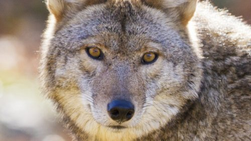 What You Should Do If You Encounter A Coyote