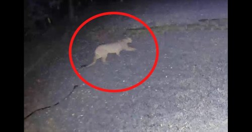 Why the mountain lion population in Michigan is skyrocketing